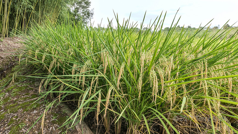 Ripe rice and bamboo