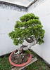 Old bonsai cedar tree in corner of Bao Family Garden, Tanqyue, Shexian, Huangzhou, Anhui, China