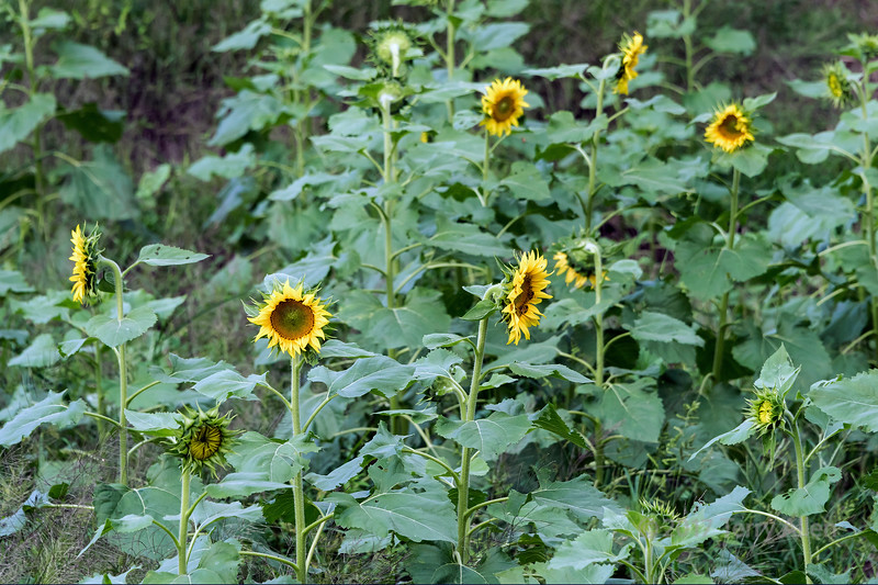 Sunflowers near the Memorial Arches, Tanque, Shenxian, China