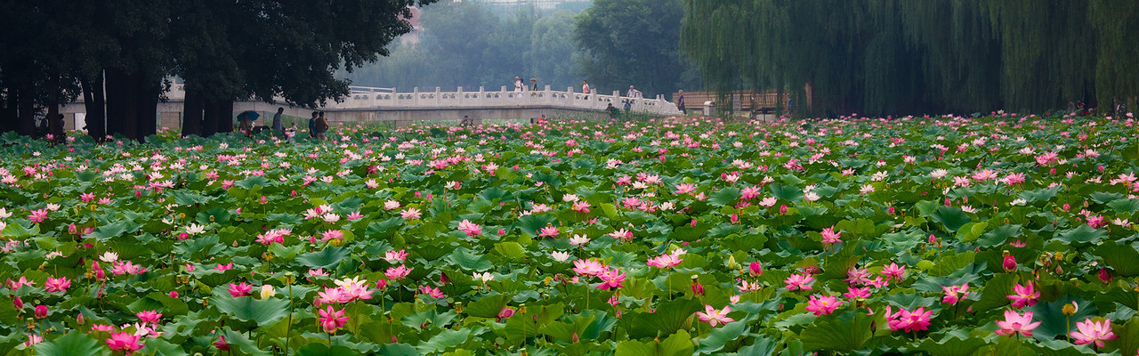 Lotus at one corner of Yuan Ming Yuan (圆明园), literally one corner only!  Best to see in original size to appreciate its magnitude.