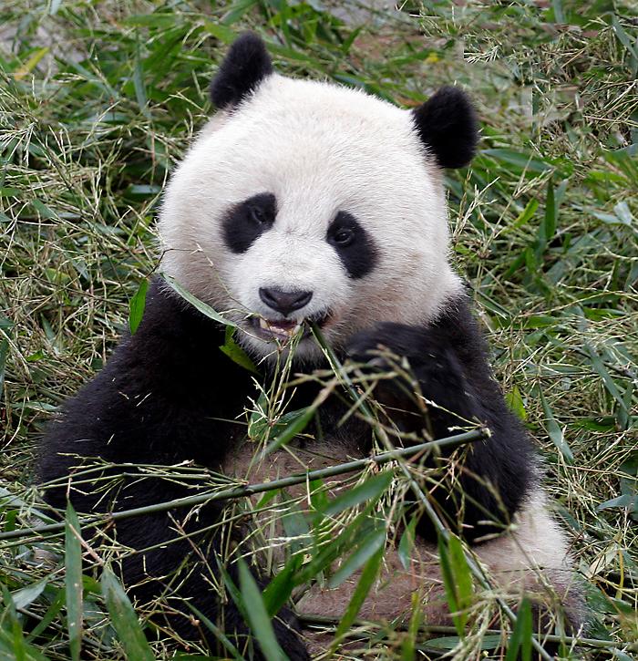 Panda, SiChuan, China