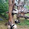 Young pandas at Sichuan Panda Research Center