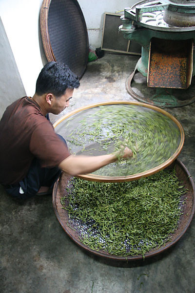 Placing Fresh Leaf on a Screen for Withering - oolong