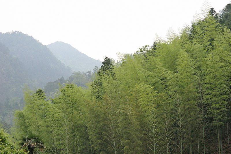 Sea of Bamboo