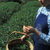 Tea garden in Anhui Province