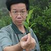 Fenghuang Dan Cong Tea Leaf