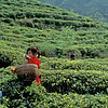 Playing in the Tea Garden