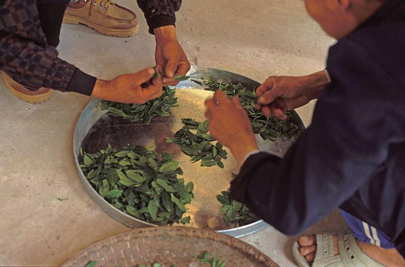 Sorting Fresh Leaf for Lu'An Guapian