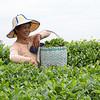 Tea Picker in a White Tea Garden
