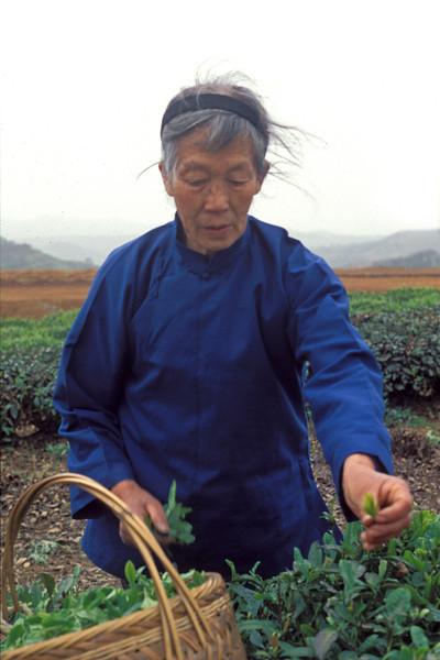 Plucking in a Gunpowder Tea Garden