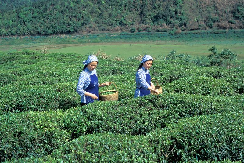 Workers Plucking Fresh Leaf