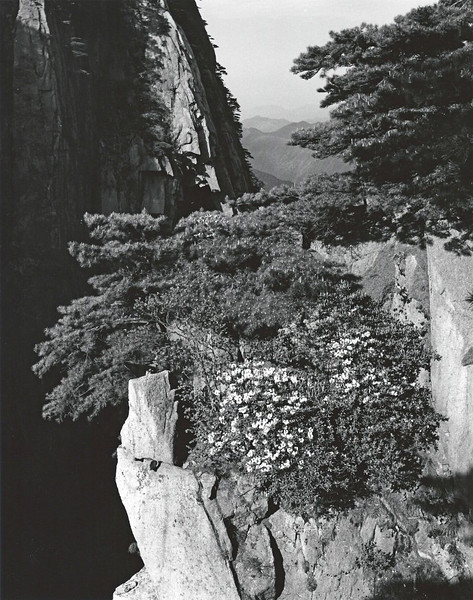 A blossoming peach tree clinging to a cliff on Huang Shan.