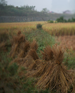 Rice Stalks, Yang Shuo, China