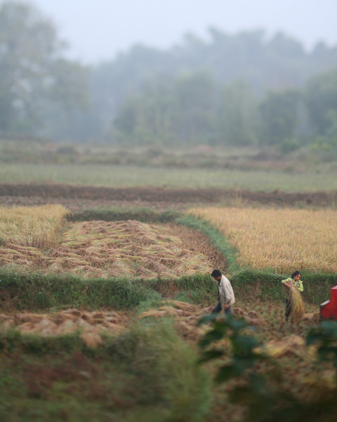 Rice Harvest, Yang Shuo, China