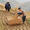 October is rice harvest time.  As with all farm work in China, rice is planted and harvested entirely by hand.