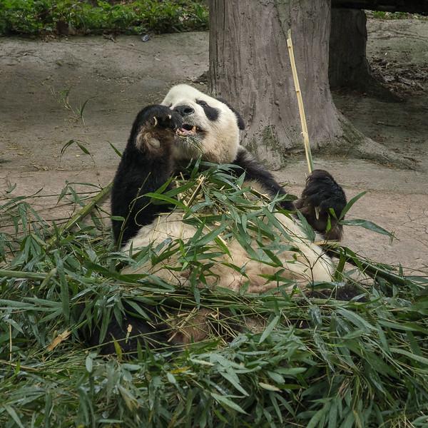 Panda's Heaven