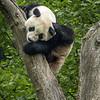 Scratching Panda