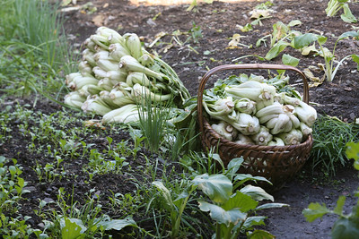 Bok Choy, Hong Village, near Huangshan, China