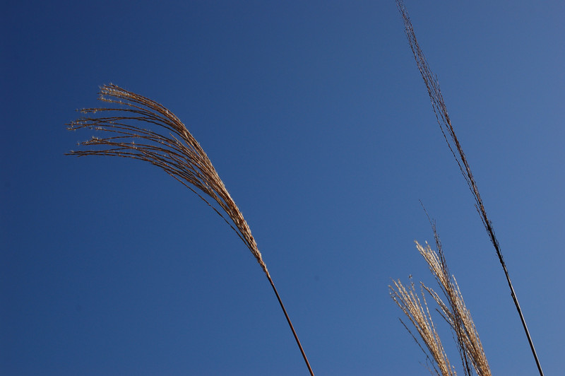 Long grass in the wind.