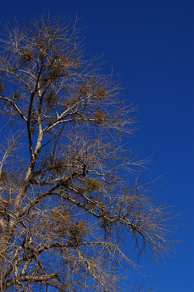 Funny bird's nest resembling growths on many of the trees