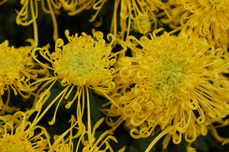 Chrysanthemums in the Temple of the Chief Minister.