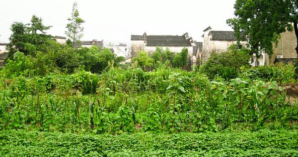 Crops growing @ Hongcun Village, China