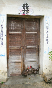 Soaked chickens hiding from the rain in Hongcun Village, China