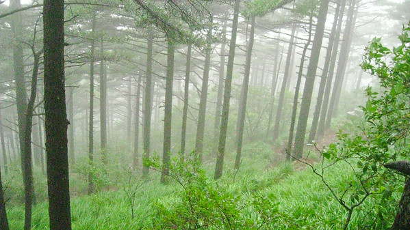 Misty forest--Huangshan, China