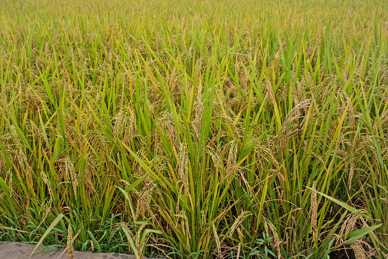 crops of rice growing in a paddy field in Xi'an, China