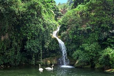 Two swans floating near a waterfall