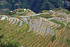 Some rice terraces are still awaiting cultivation while others are awaiting planting