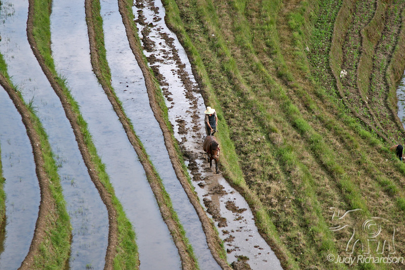 Farmer plowing his rice terraces using a horse