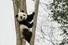 Baby panda bracing itsel in a tree, Bifeng Xia, Sichuan, China
