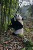 Giant panda reaching for bamboo stalk, Bifeng Xia, Sichuan, China