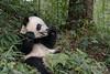 Young panda eating a tasty young bamboo stalk, Bifeng Xia, China