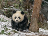 Panda with snow flakes