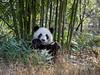 Giant panda eating a bamboo shoot, Bifeng Xia, Sichuan, China