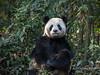 Adult panda posing in the bush, Bifeng Xia, Sichuan, China