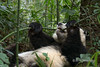 Panda biting off a stalk of bamboo, Bifeng Xia, Sichuan, China