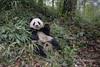 Contented young panda lying back eating a meal of bamboo, Bifeng Xia, Sichuan, China