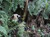 Young panda surrounded by ferns, Bifeng Xia, Sichuan, China