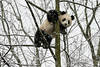 Young panda up a tree in a snow storm, Bifeng Xia Gorge, Sichuan, China