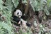 Young panda and ferns, Bifeng Xia, Sichuan, China