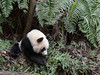 Young panda with ferns and bamboo, Bifeng Xia, China