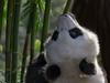 Giant panda reaching up for some bamboo, Bifeng Xia, Sichuan, China