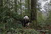 Young panda with a stalk of bamboo in its mouth, Bifeng Xia, Sichuan, China