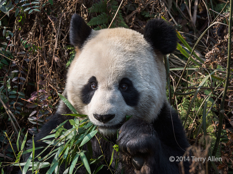 """Bamboo for dinner AGAIN!<br /> <br /> Giant panda close-up eating bamboo leaves, Bifeng Xia, Sichuan, China<br /> <br /> The remainder of the giant panda shots, and the last of the pics from China, can be seen here: <a href=""""http://goo.gl/Ai0IOL"""">http://goo.gl/Ai0IOL</a><br /> <br /> 23/07/14  <a href=""""http://www.allenfotowild.com"""">http://www.allenfotowild.com</a>"""