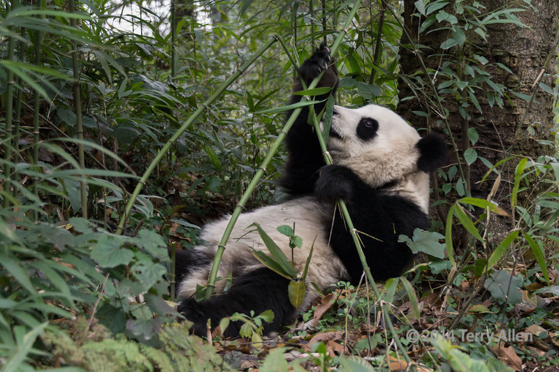 Panda reaching for a stalk of bamboo, Bifeng Xia, Sichuan, China