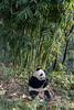 Panda eating beside a stand of bamboo, Bifeng Xia, Sichuan, China