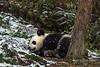 Young panda sleeping in the snow, Bifeng Xia, Sichuan, China